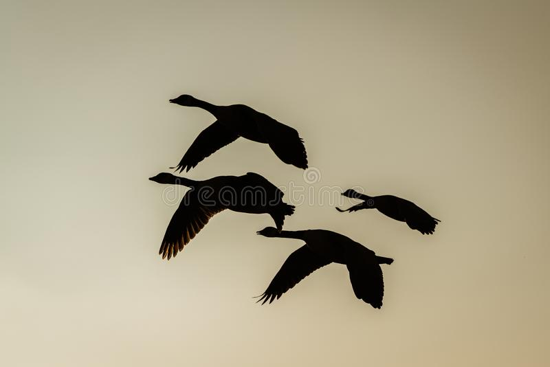 Silhouette of a small flock of Canada Goose (Branta canadensis) in flight, taken in the UK royalty free stock photo