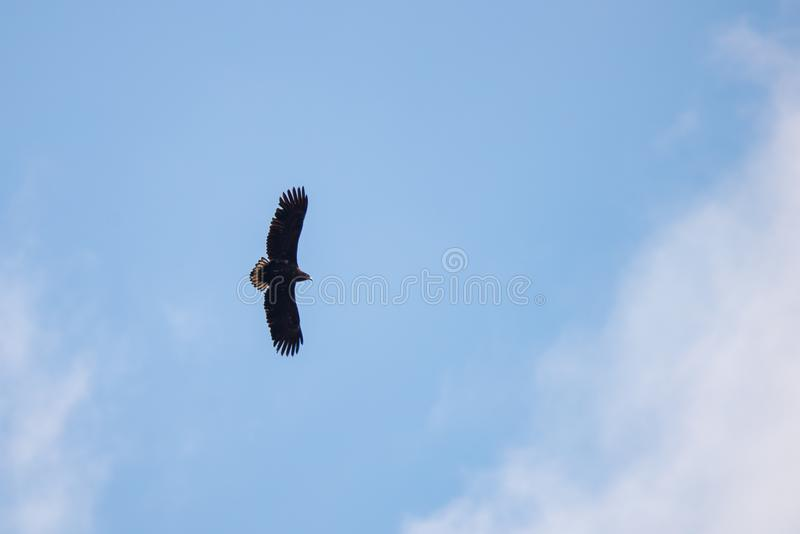 Silhouette Steppe eagle flying under the bright sun and cloudy sky in summer stock images