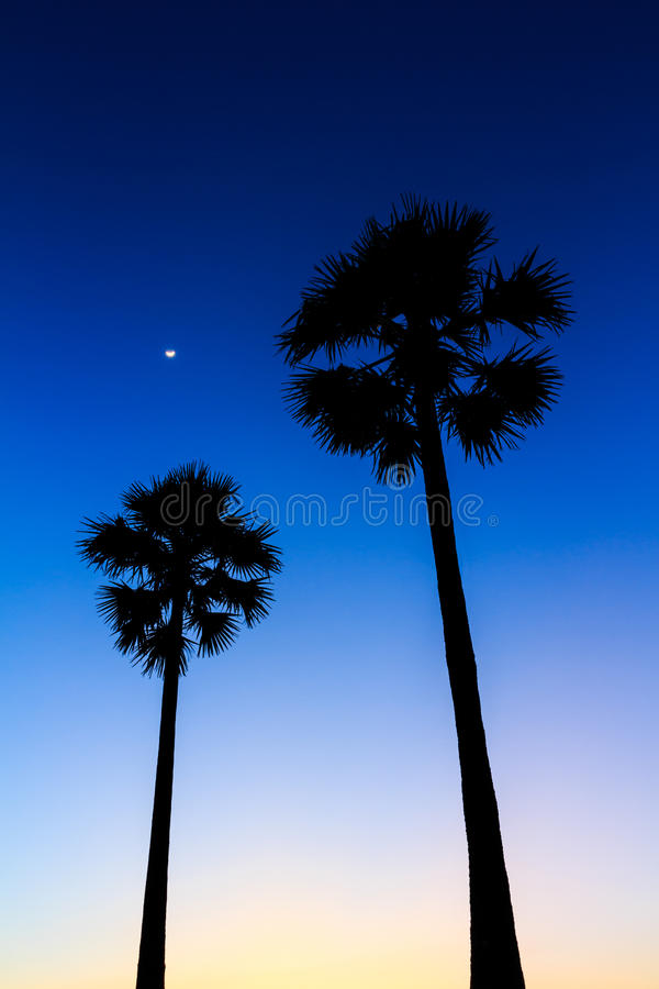 Silhouette of sugar palm tree on sunset sky. With the crescent moon stock photography