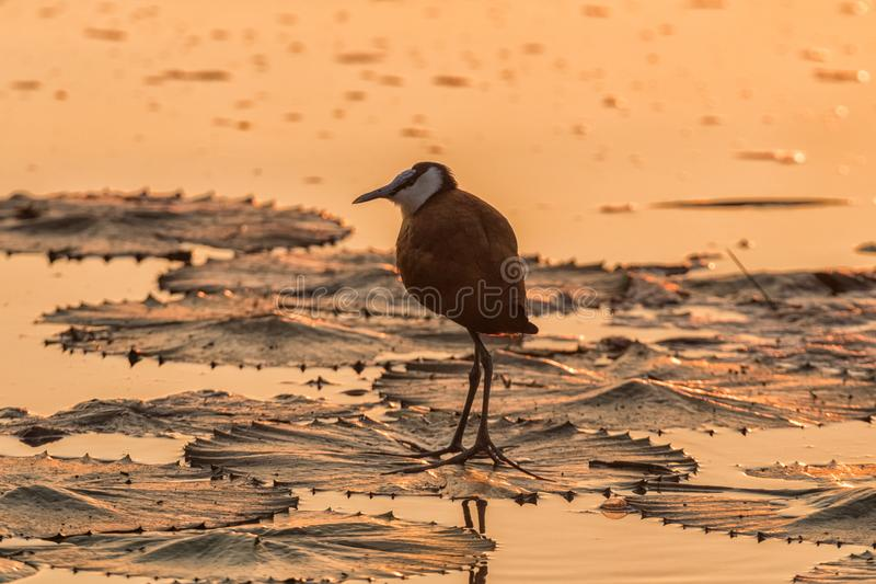 Silhouette at sunrise of an african jacana at sunrise royalty free stock photography