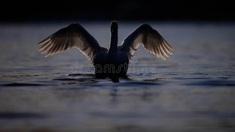 Silhouette of Swan on Deep Blue Water stock photography