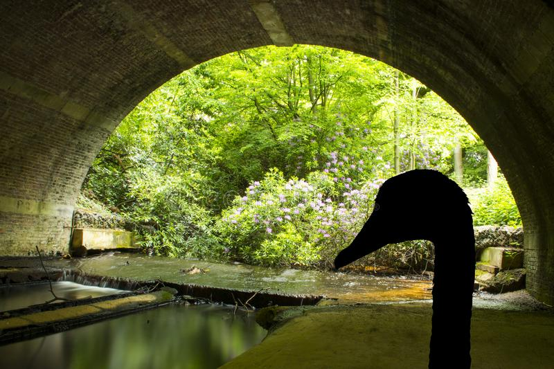 Silhouette of a swan under the bridge - Virginia Waters. United Kingdom royalty free stock images