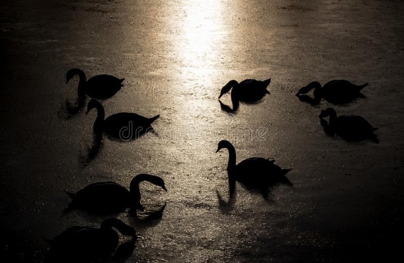 Silhouette of swans diving for food during beautiful sunset in river Bosut. Vinkovci, Croatia.tif. Two swans feeding on the sunset and enjoying each other`s royalty free stock images