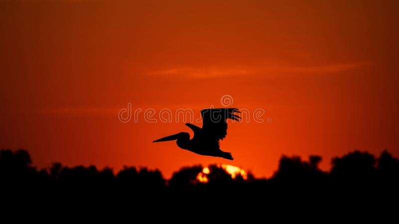 Silhouette of pelican flying over water in the sunset. Danube Delta Romanian wild life bird watching. Silhouette of swans  flying over water in the sunset royalty free stock photography