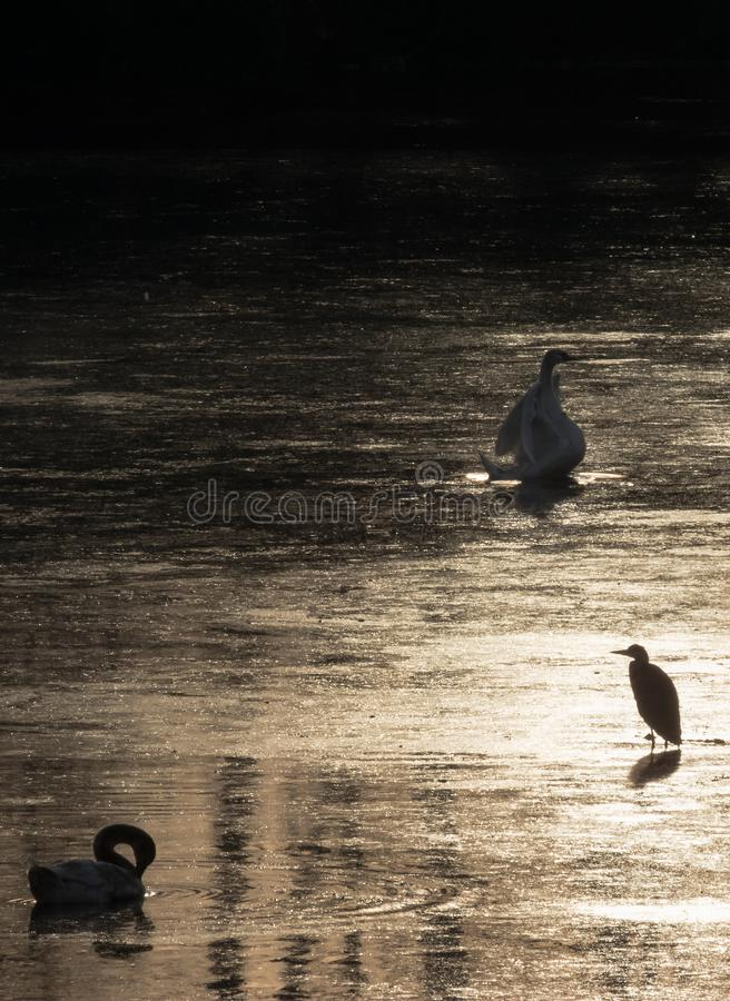 Silhouette of swans and heron diving for food during beautiful sunset in river Bosut. Vinkovci, Croatia.tif. Two swans and heron feeding on the sunset and royalty free stock photo