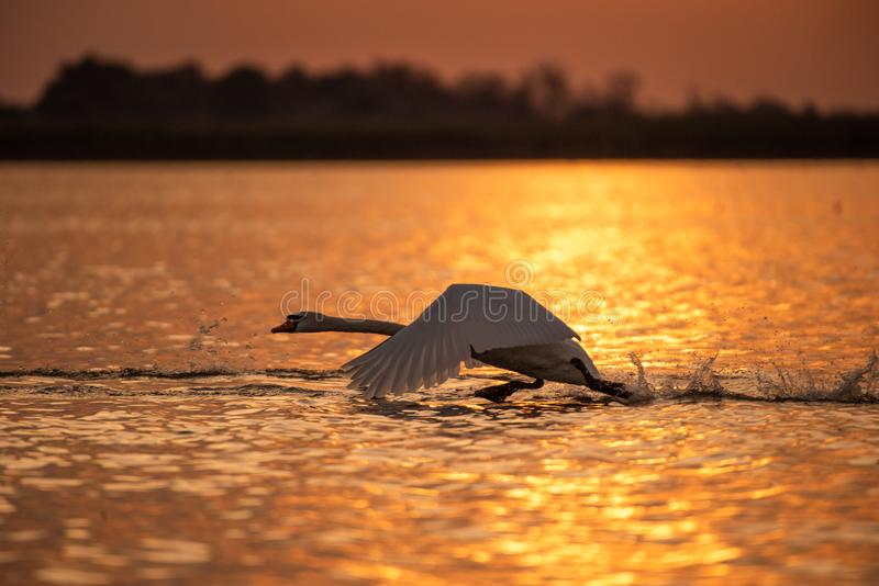 Silhouette of swan in the sunset. Danube Delta Romanian wild life bird watching. Silhouette of swans in the sunset. Danube Delta Romanian wild life bird watching royalty free stock photos