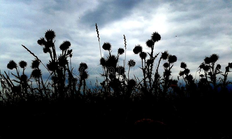 Silhouette of thistles against a stormy sky, England stock photos