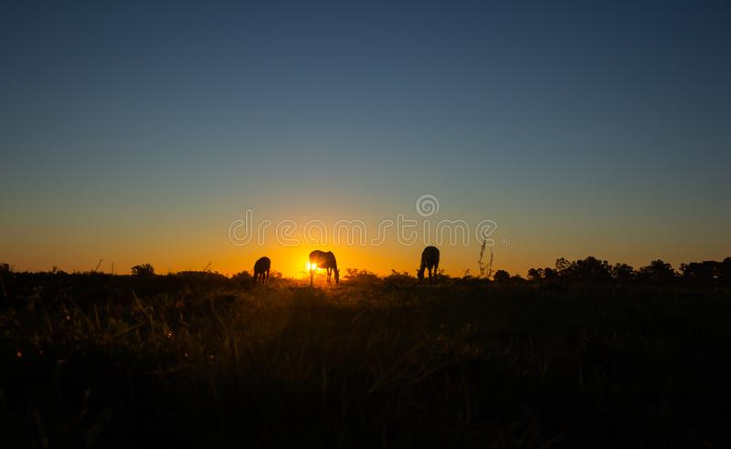 Silhouette of three horses eating during sunset royalty free stock photos