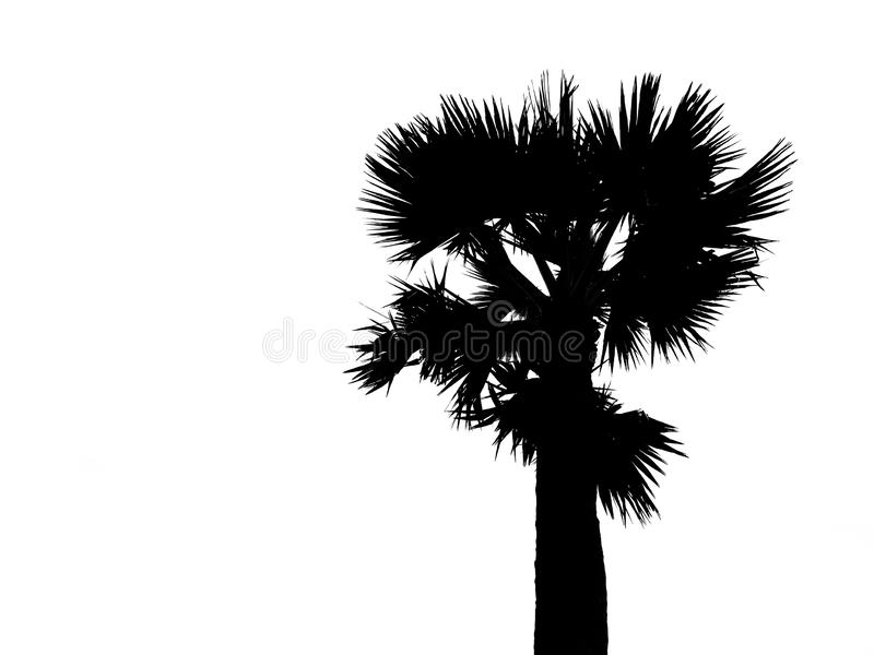 Silhouette of top half single sugar palm tree isolated on white background. Image adjust to contrast black and white. royalty free illustration