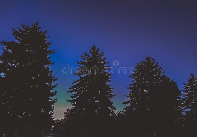 Evergreens looming in the twilight stock images