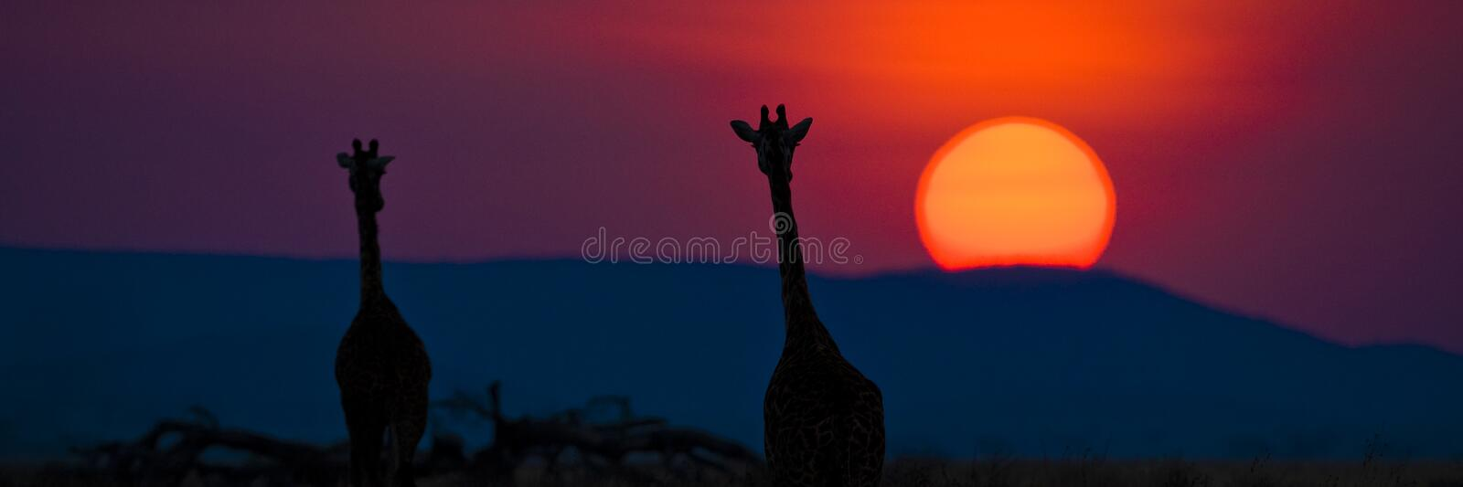 Silhouette of two giraffes watching large sun set in Africa royalty free stock photo