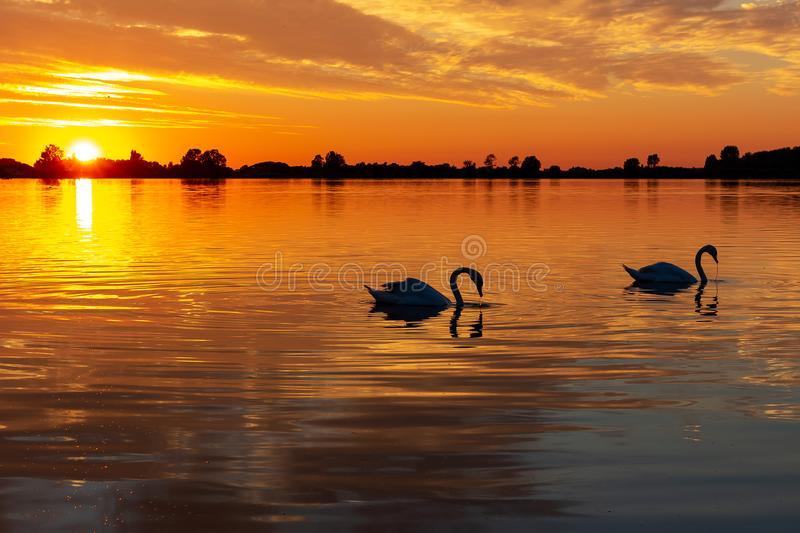Silhouette of two swans during beautiful sunset in lake Zoetermeerse plas-2. Silhouette of two swans during a beautiful sunset in lake Zoetermeerse plas-2 stock image