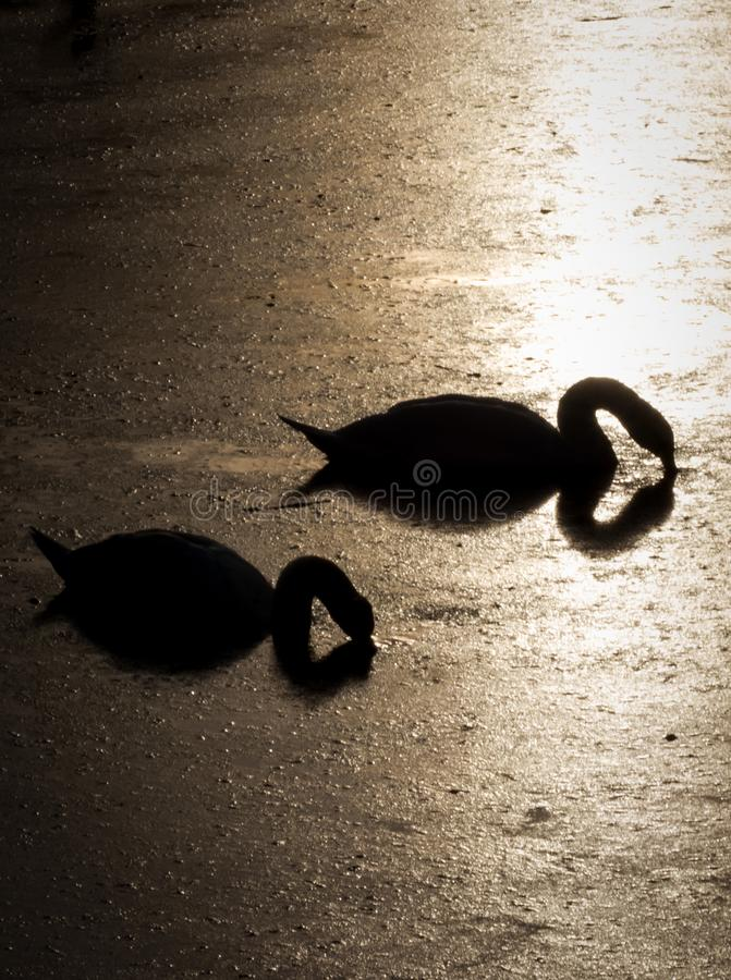 Silhouette of two swans diving for food during beautiful sunset in river Bosut. Vinkovci, Croatia.tif. Two swans feed on the sunset and enjoying each other`s stock photo