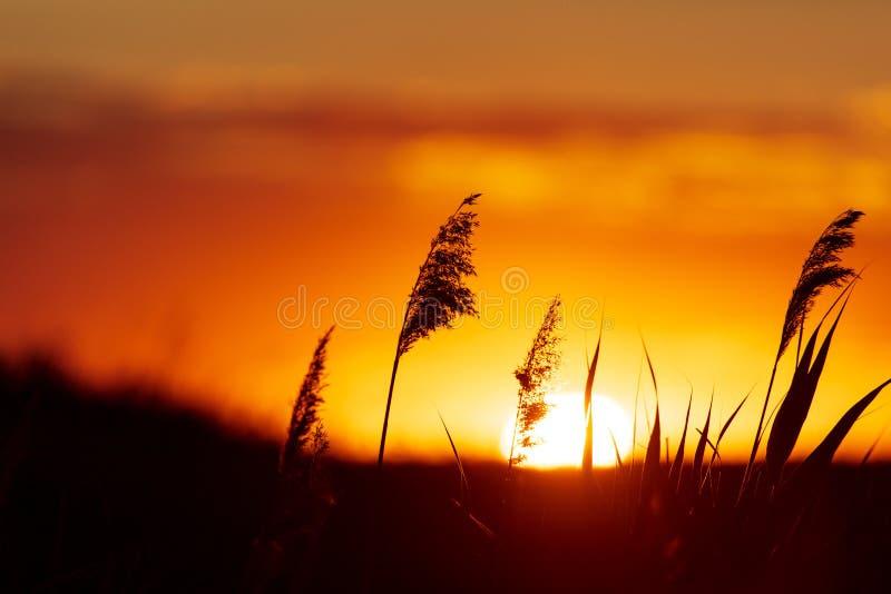 Silhouette van bulrush op zonsondergrond royalty-vrije stock afbeeldingen