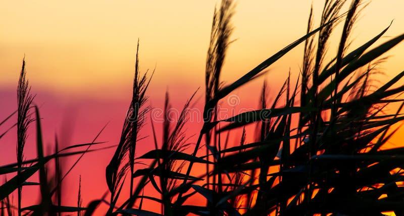 Silhouette van bulrush op zonsondergrond royalty-vrije stock foto