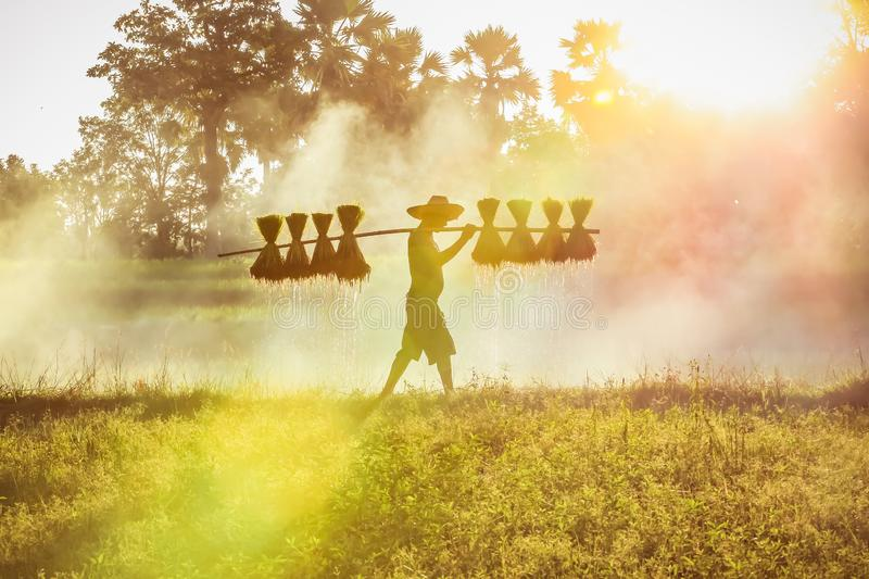 Silhouette van de Aziatische boer Bearing Seedlings of rice to plant, Aziatische boer Bearing rice Seedlings stock afbeeldingen