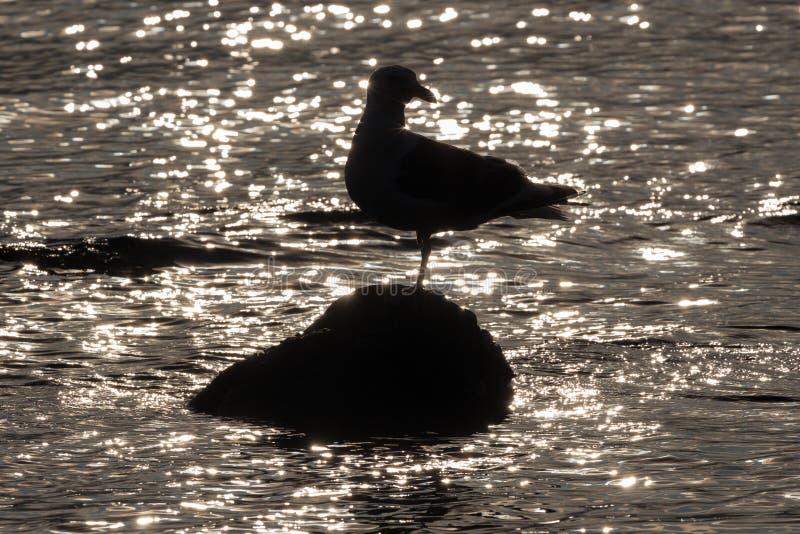 Silhouette van de Pacifische meeuw die op een voet staat op een steen omringd door reflectie en glare van watergolven van de Stil stock afbeeldingen