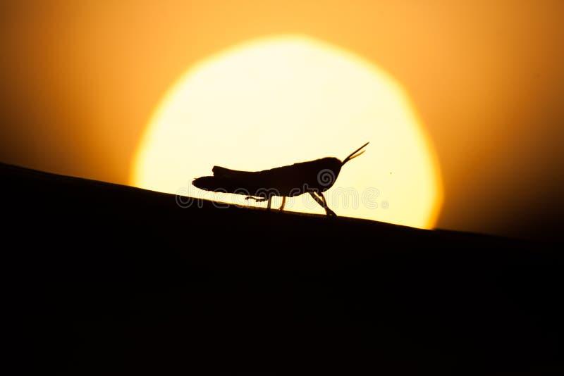 Silhouette van een sprinkhaan stock afbeelding