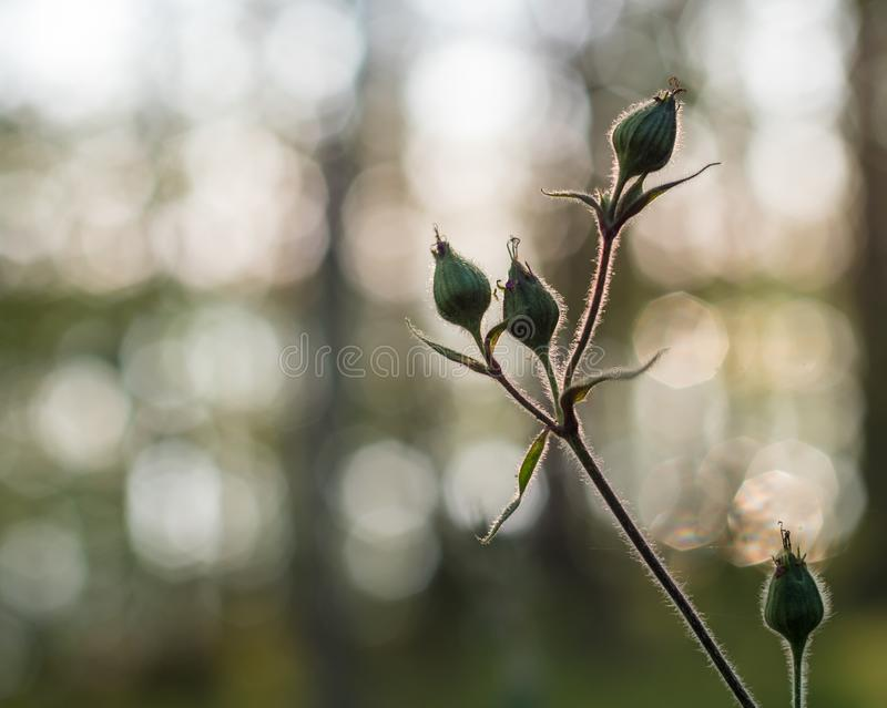 Silhouette view of Red campion flower buds. Backlight silhouette view of hairy buds of Red campion flower Silene dioica with blurry background stock image