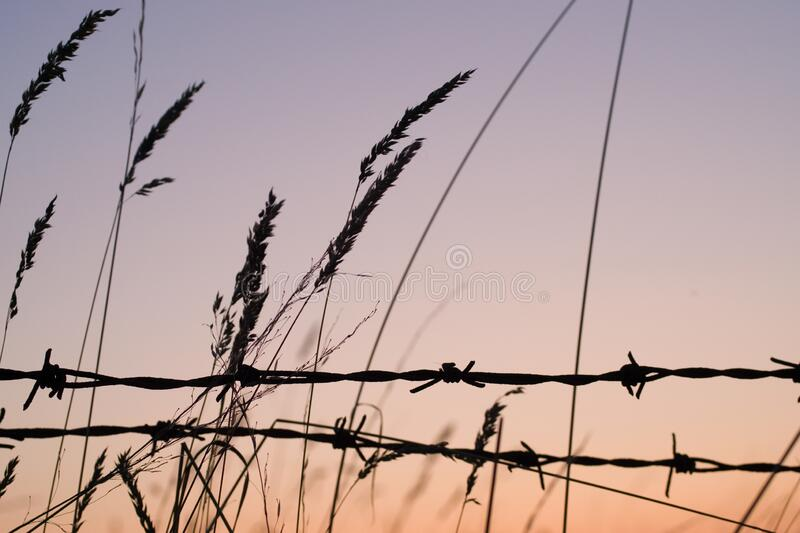 Silhouette of the wheat grasses and wire fence with the sky in the background during sunset. The silhouette of the wheat grasses and wire fence with the sky in stock photos