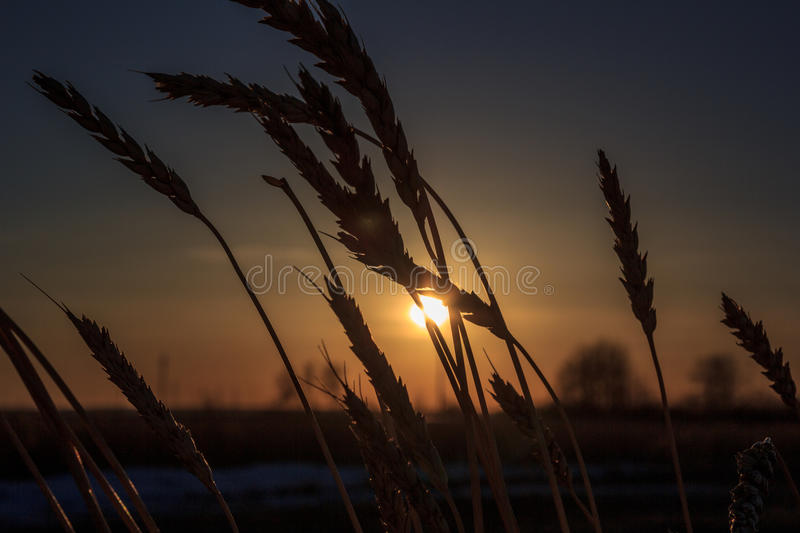 Silhouette of wheat royalty free stock photos