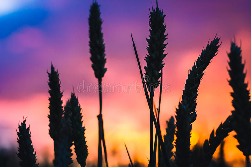 Silhouette of wheat straw at sunset back light. Blue, orange and violet colourd sky. Vivid colors.  stock photo