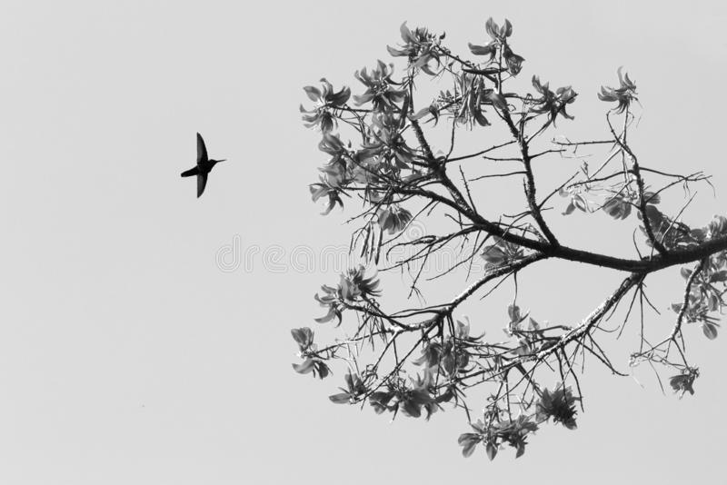Silhouette of white-necked jacobin hovering next to flower, bird in flight, caribean tropical forest,Trinidad and Tobago royalty free stock photo