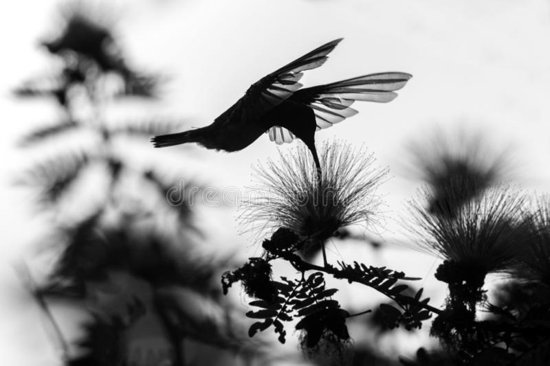 Silhouette of white-necked jacobin hovering next to mimosa flower, bird in flight, caribean tropical forest stock photos