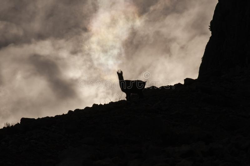 Silhouette of a Wild Chamois/Mountain Goat in Austria royalty free stock photography