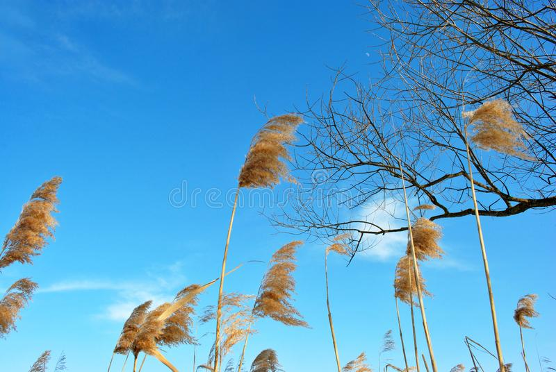Silhouette of willow branch reeds, blue sky with clouds. Sunny day royalty free stock photography