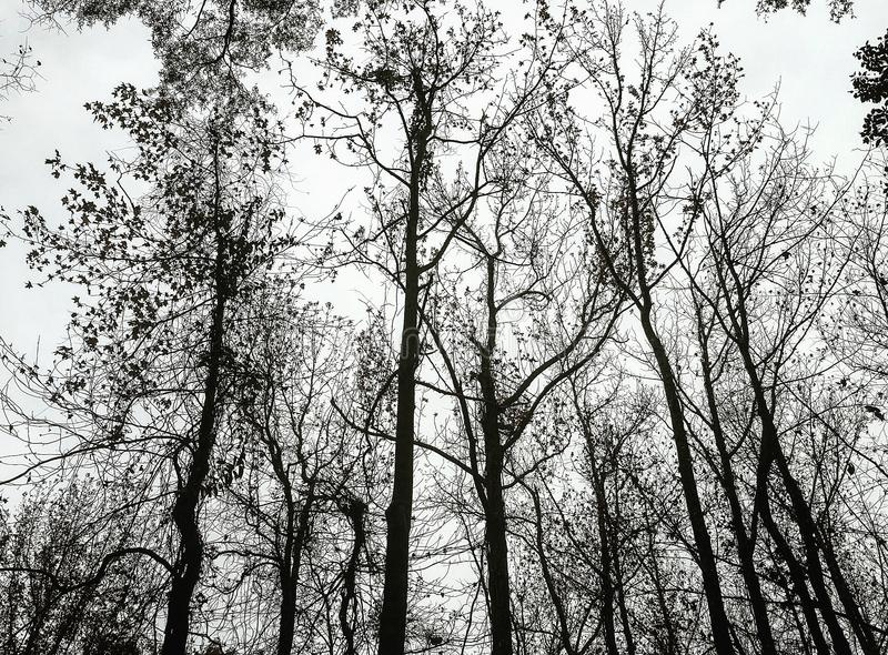 Silhouette of the Winter Treetops royalty free stock images