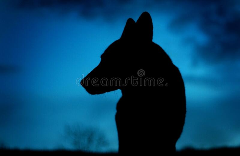Silhouette of wolf at night royalty free stock photos