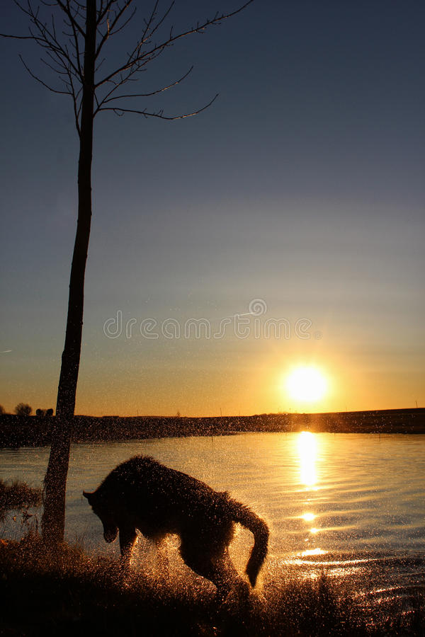 Silhouette of a wolf. Shakin silhouette of a wolf at the edge of a lake royalty free stock photos