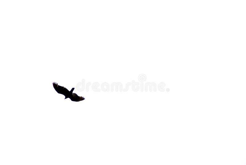 Silhouetted örn i flyg royaltyfria foton