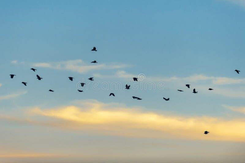Silhouetted вороны летая в небо захода солнца стоковое фото rf