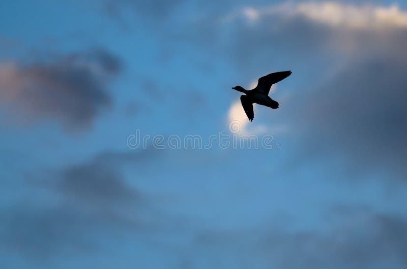 Silhouetted летание утки в темном небе вечера стоковое фото rf
