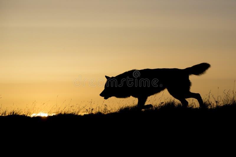 Silhouetted звероловство волка на восходе солнца