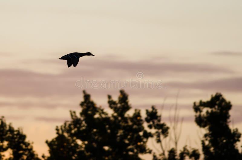Silhouetted утка летая над деревьями в небе захода солнца стоковое фото rf