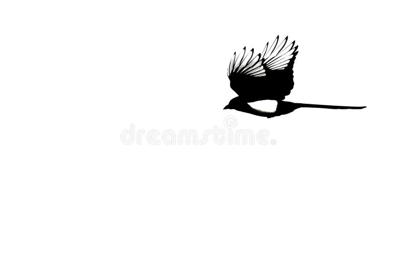 Silhouetted Черно-представленная счет сорока в полете на белую предпосылку стоковые фото