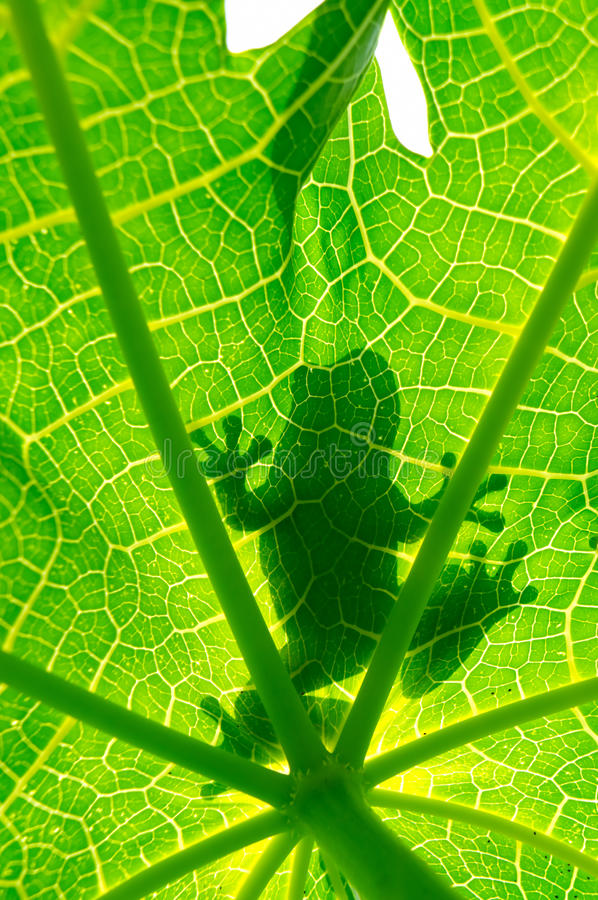 Download Silhouetted of frog stock photo. Image of jungle, caladium - 26686946