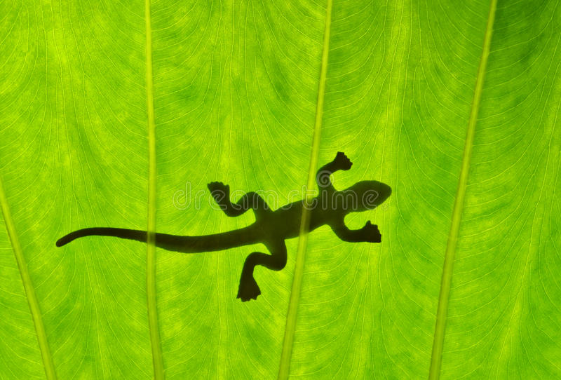 Silhouetted Gecko Stock Images