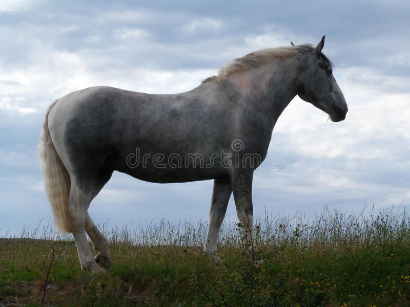 Silhouetted Grey Horse in Pasture stock photos