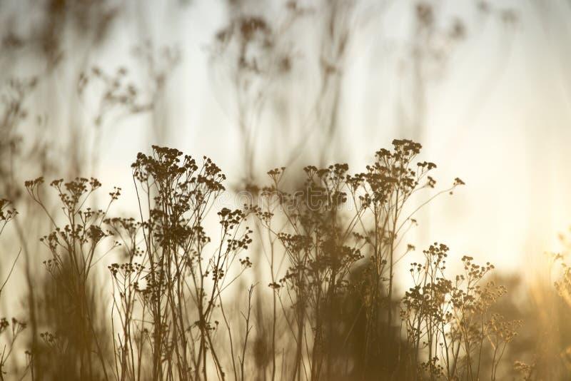Silhouetted högväxta lösa blommor, mjuka gula signaler fotografering för bildbyråer