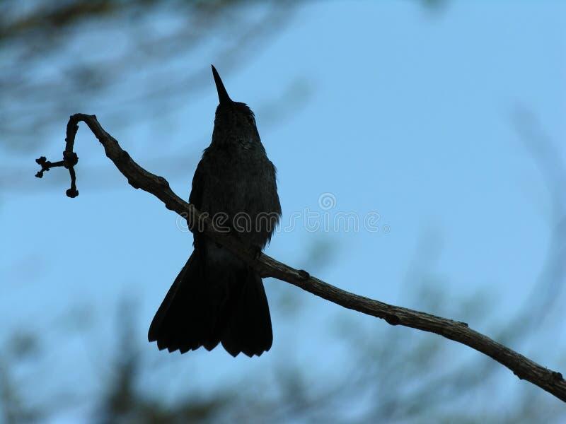 Download Silhouetted hummingbird stock image. Image of animal, bird - 389525
