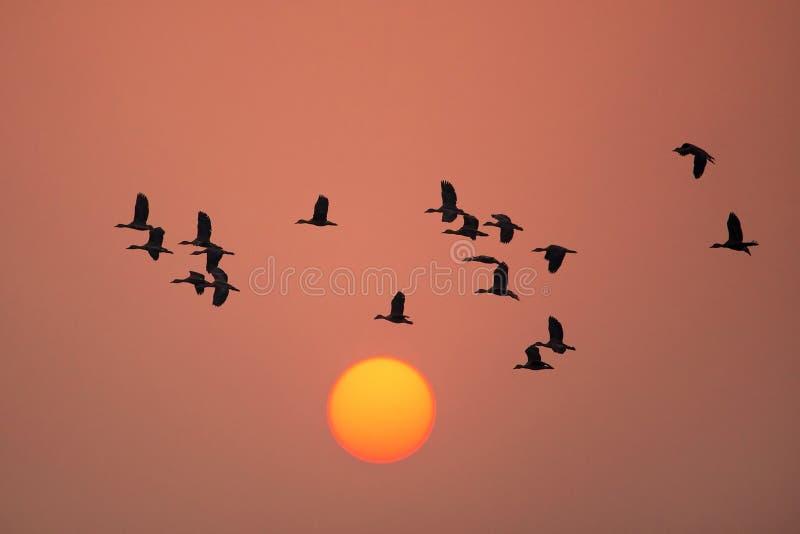 Lesser whistling ducks flying at sunset in Keoladeo Ghana Nation. Silhouetted Lesser whistling ducks flying at sunset in Keoladeo Ghana National Park, Bharatpur stock images