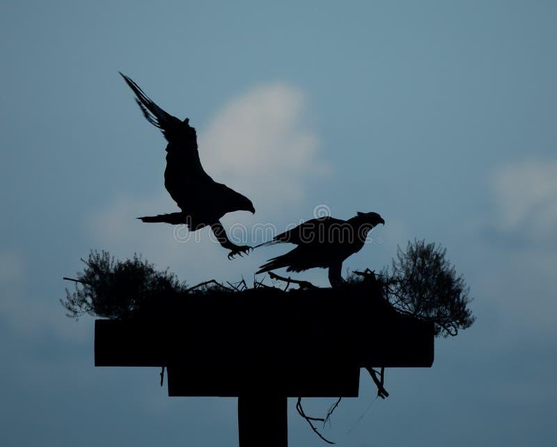 Silhouetted Ospreys i rede royaltyfria foton