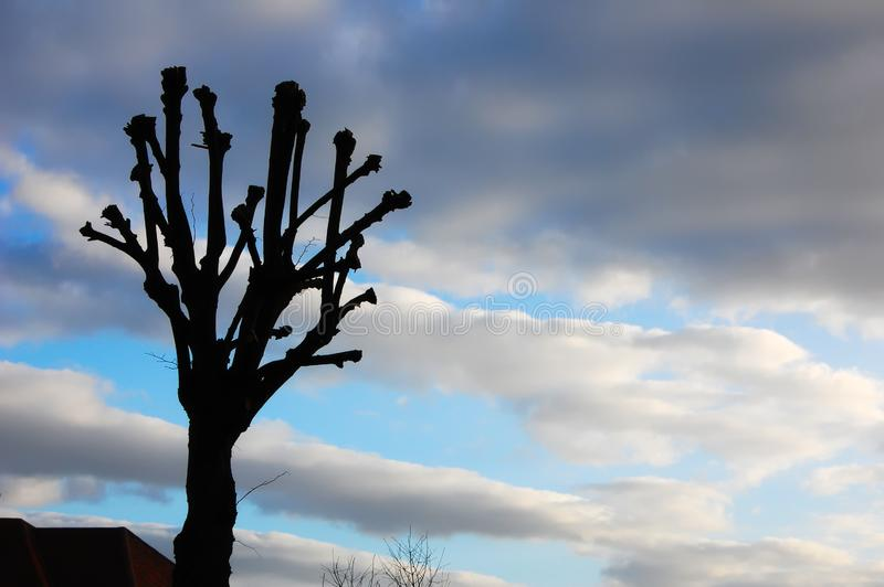 Silhouetted pruned tree. stock photo