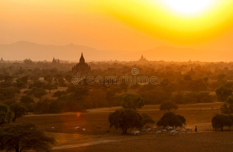 Burmese Herding at Sunset in Bagan. The silhouetted temples of Bagan at sunset in Myanmar make a backdrop to a Burmese cow herder walking across the plains royalty free stock photography
