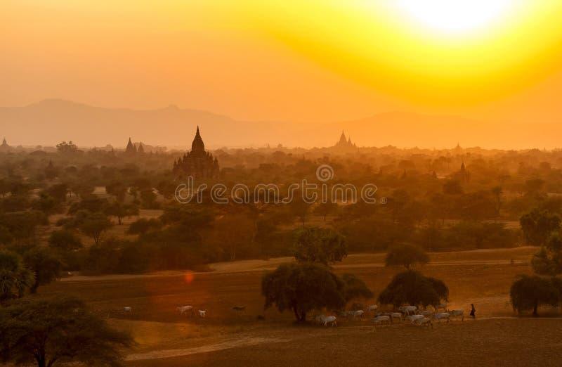 Burmese Herding at Sunset in Bagan