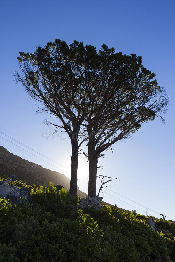 Silhouetted tree at the foot of Table Mountain. With the sun in the background royalty free stock image